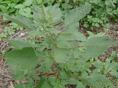 Tem esta planta no seu jardim? Sabia que é comestível?