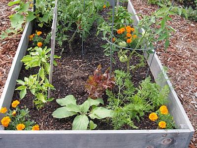 Aprenda que plantas são companheiras dos tomates