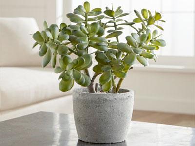 Aprenda a propagar facilmente plantas de jade