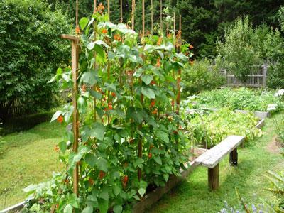 Aprenda que plantas são companheiras dos feijões