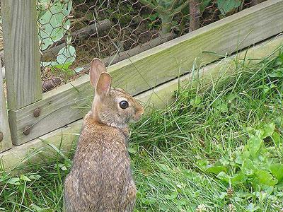 Como controlar os ataques de coelhos à sua horta