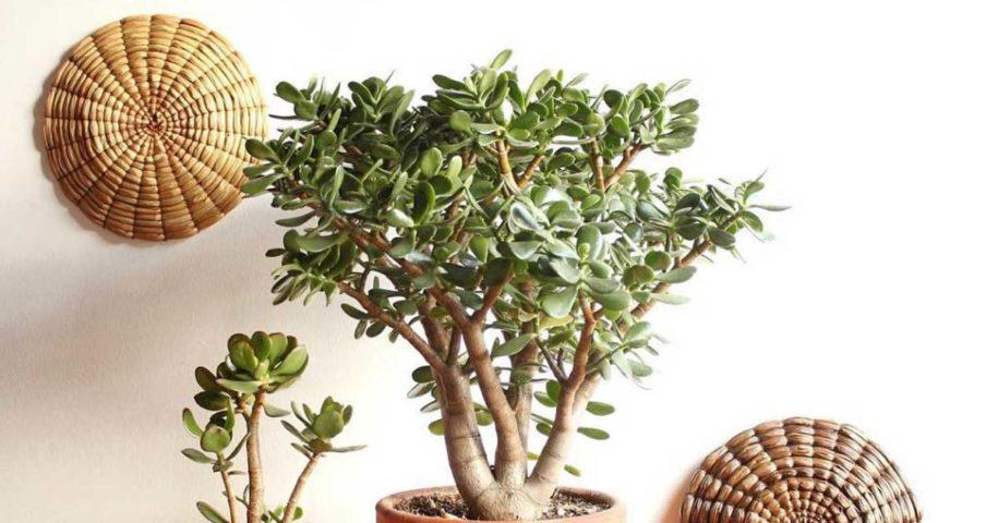Conhece a planta Jade? Aprenda a propagá-la facilmente!