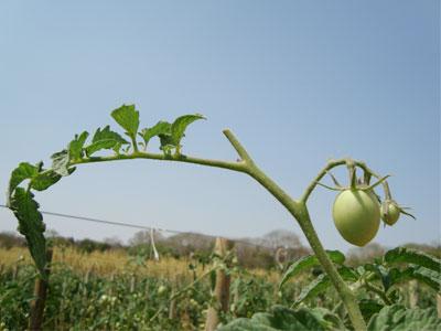 Os tomateiros têm de ser podados - saiba como e porquê!