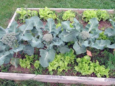Aprenda que plantas são companheiras dos bróculos