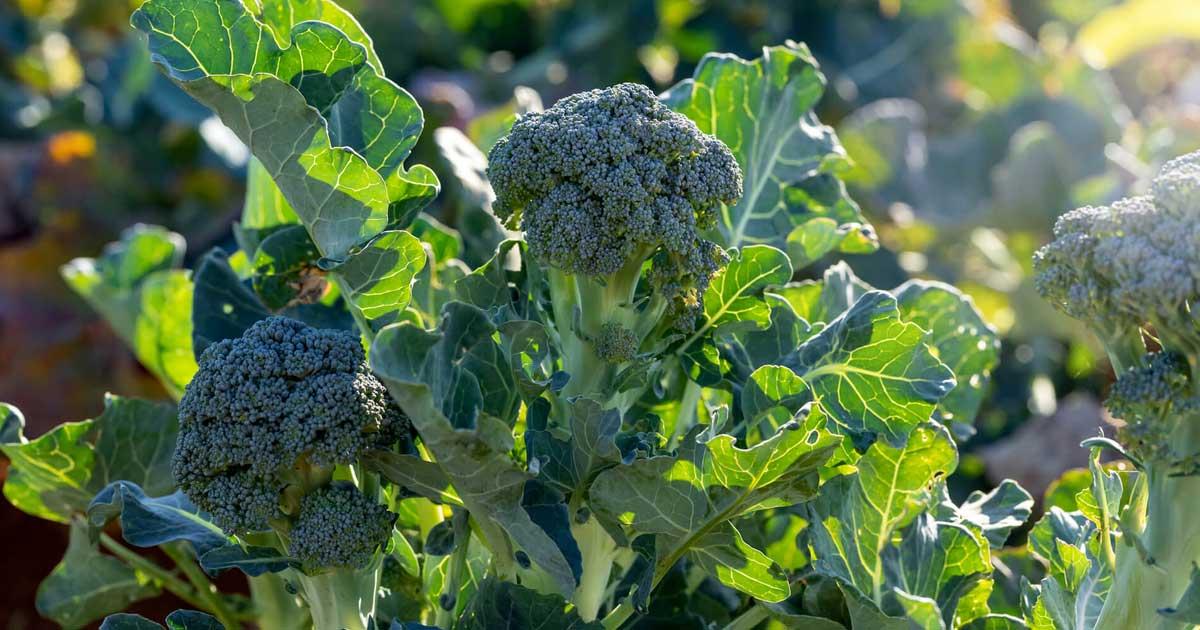 Aprenda que plantas são companheiras dos brócolos