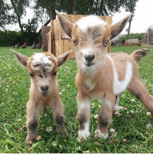 Aprenda que animais pode e deve criar na sua quinta