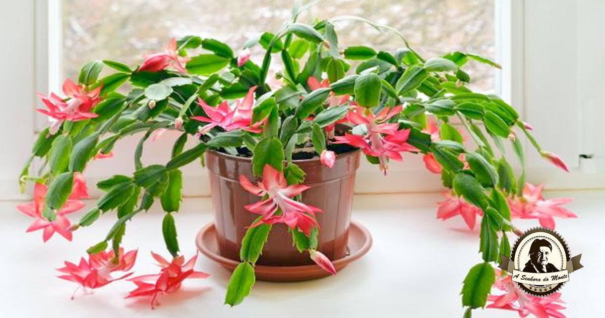 Conhece esta planta típica da época de Natal?