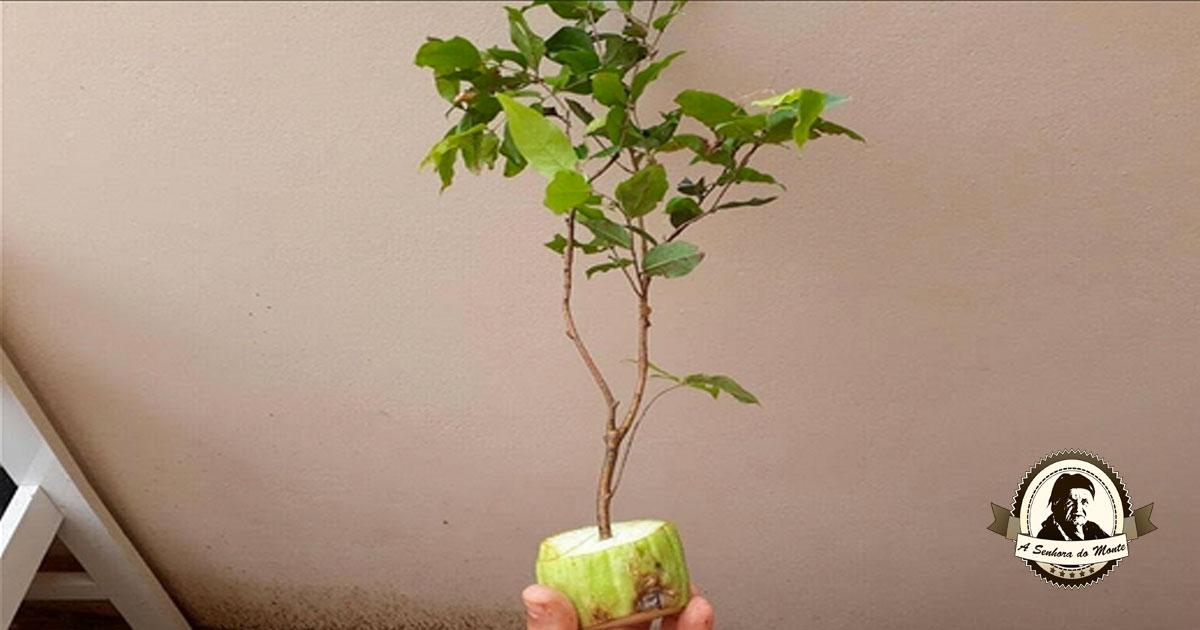 Aprenda a propagar galhos de árvores cítricas em chuchus!