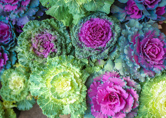 Couve ornamental - Já conhece esta novidade original para o seu jardim?