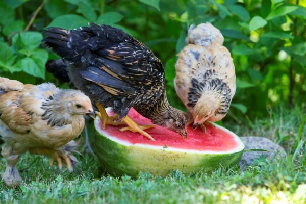 Saiba que alimentos pode dar às suas galinhas para ter mais ovos