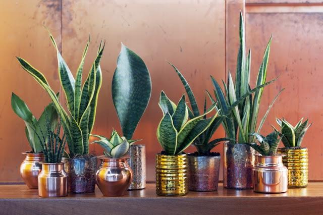 Espada de São Jorge - Aprenda a cuidar e a manter esta planta protectora