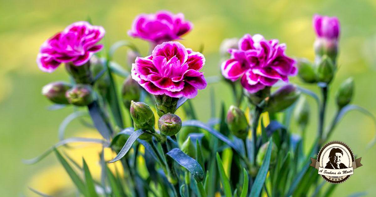 Gosta de cravinas? Saiba tudo sobre esta planta ornamental!