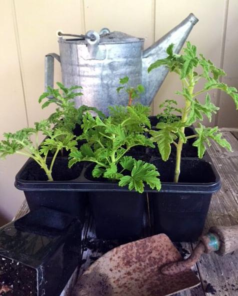 Gosta de sardinheiras? Aprenda a plantar e a cuidar desta planta ornamental!