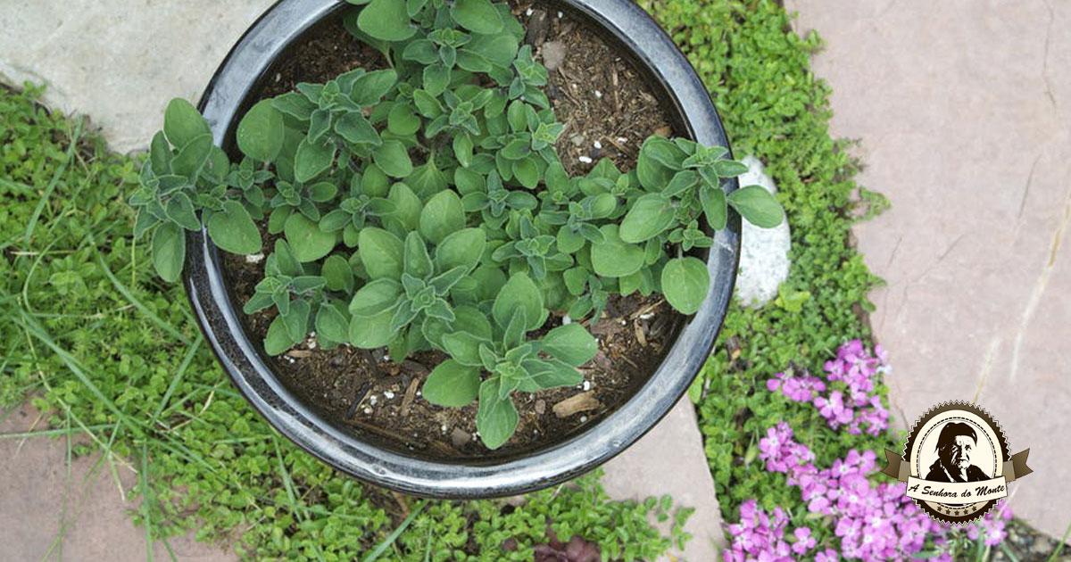 Aprenda algumas dicas para plantar orégãos