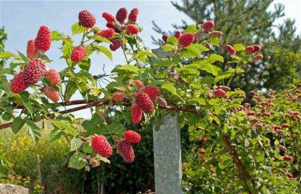Aprenda a plantar framboesas em 5 passos