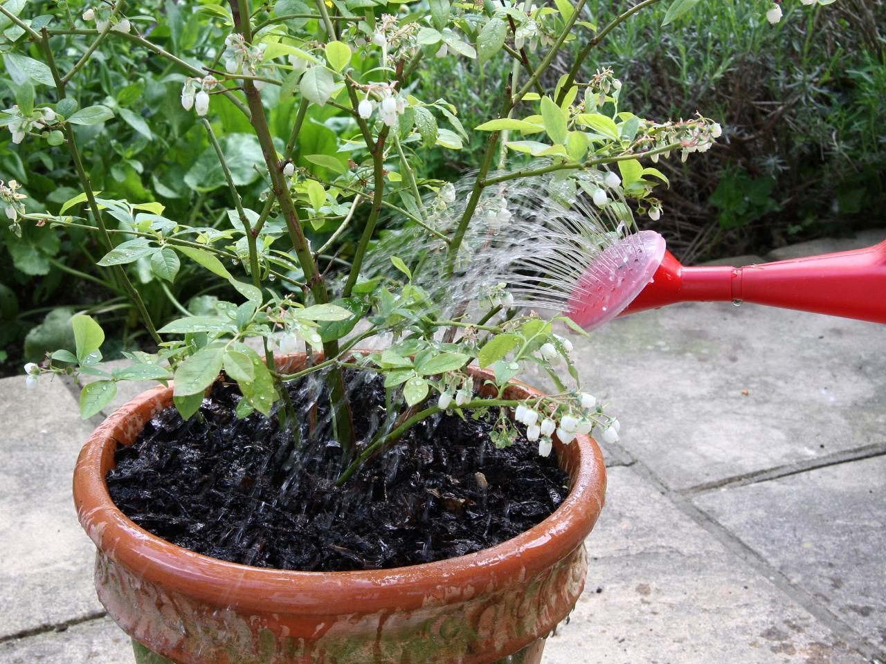Sabia que é possível produzir mirtilos em vasos?