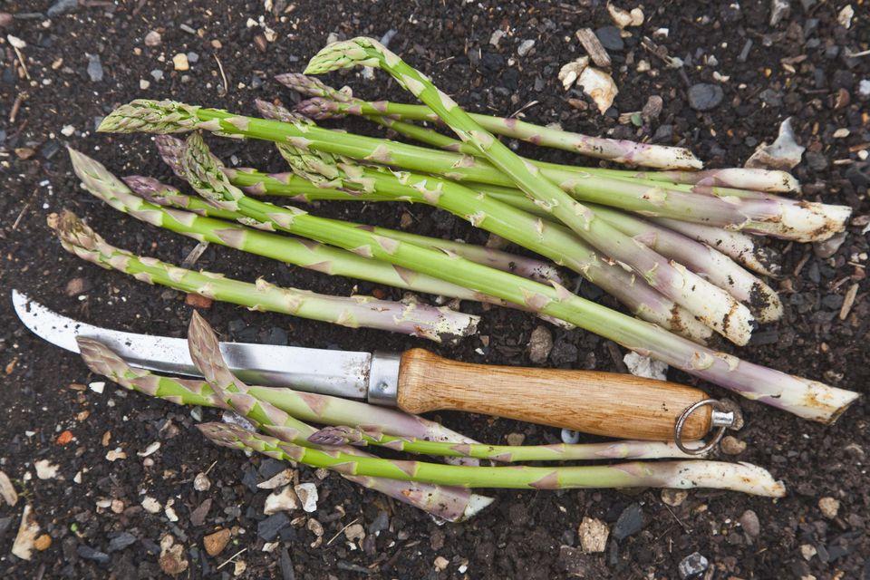 Sabe como se faz o cultivo de espargos?