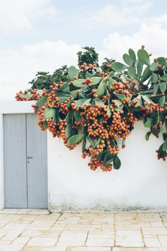 Figo da diabo - Um fruto que poucos experimentaram!