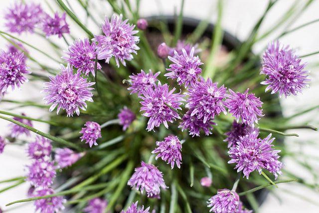 Cebolinho - Aprenda a plantar e a cuidar desta erva aromática