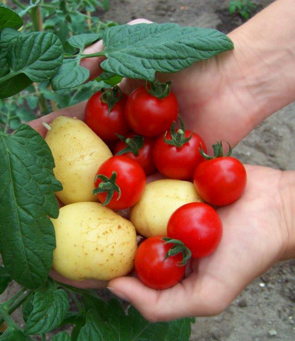 Sabia que pode cultivar tomates e batatas numa só planta?