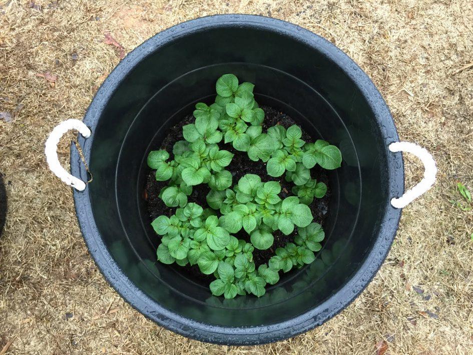 Sabia que pode plantar batatas na sua varanda dentro de um balde?