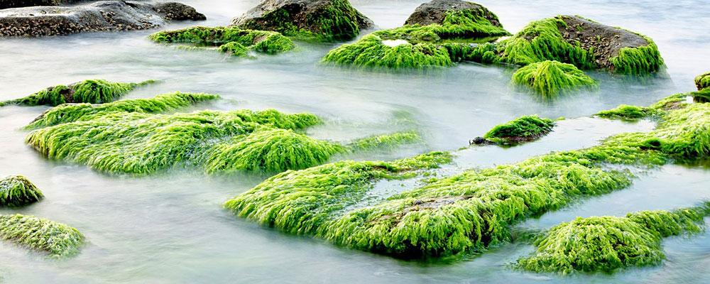 Benefícios das algas