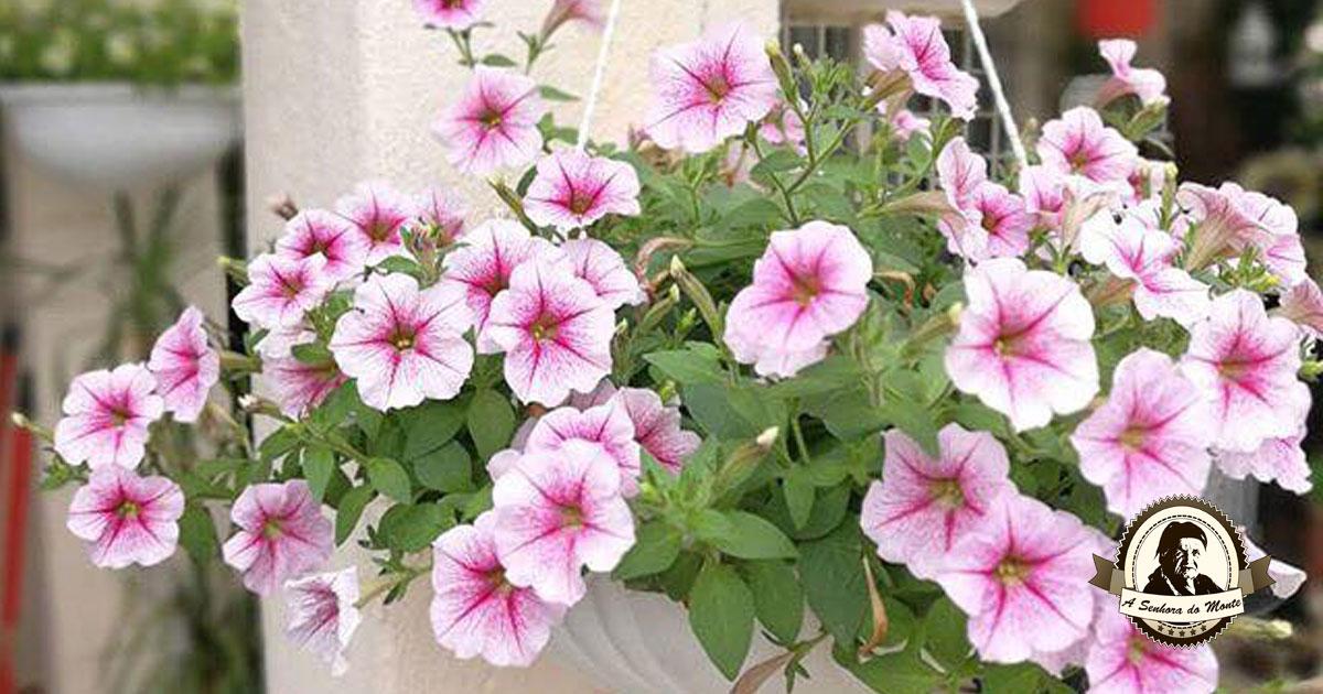 Petúnias - Aprenda a cuidar desta planta ornamental