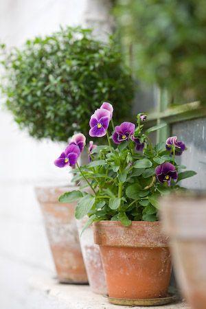 Amores-perfeitos - Aprenda a plantar e a cuidar das suas flores!