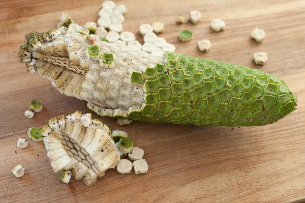 Costela de Adão - A planta da moda que dá frutos comestíveis