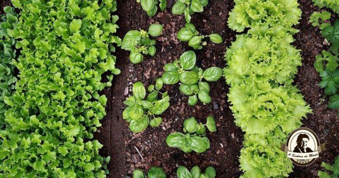 10 Razões para plantar manjericão num vaso ou no seu quintal