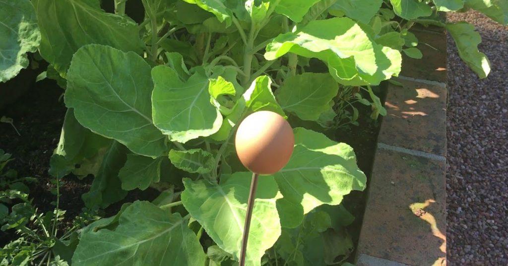 Sabe para que servem estas cascas de ovo próximas das hortaliças?