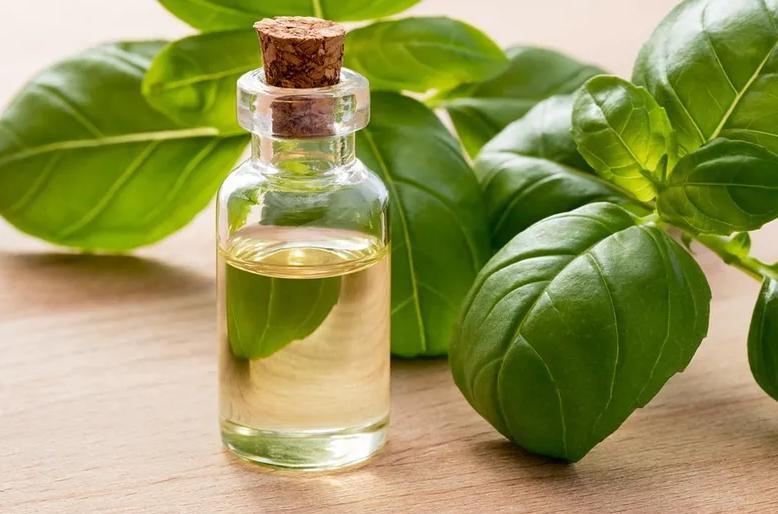 Aprenda a fazer óleo de manjericão só com 2 ingredientes!