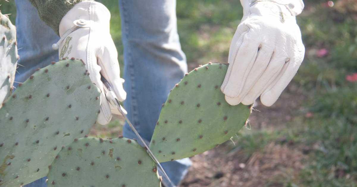 Mezinha - Já experimentou um xarope caseiro feito de folhas de cacto?