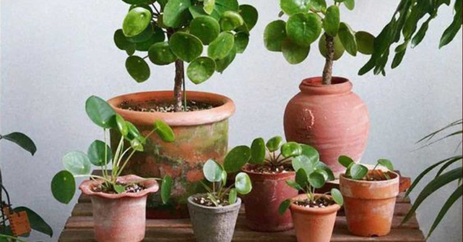 Pilea peperomioides - Aprendar a cuidar desta planta!
