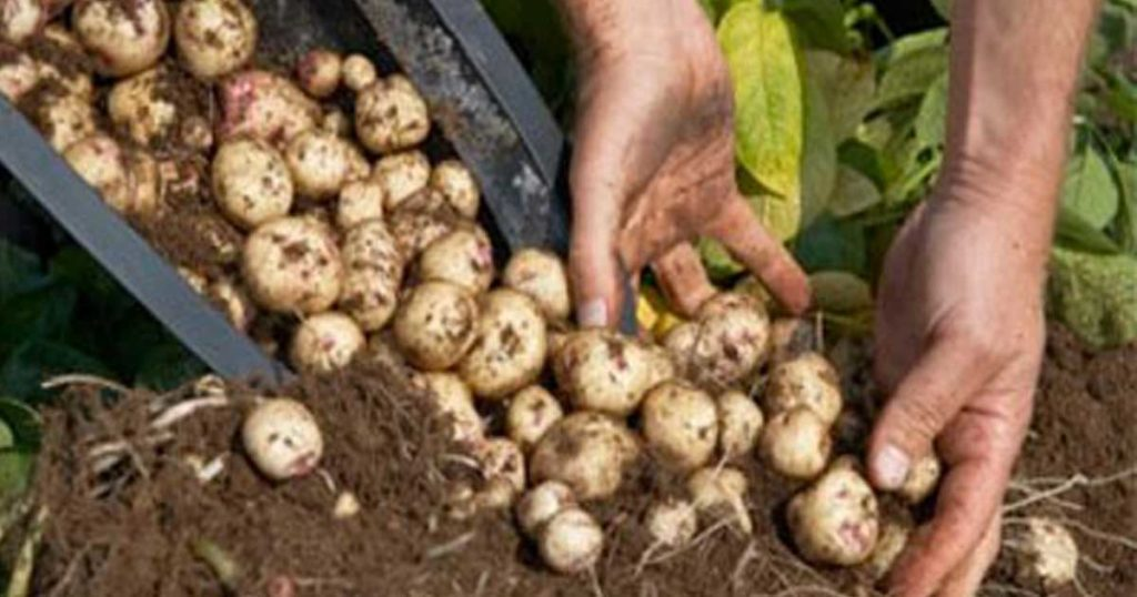 Aprenda a plantar batatas na sua varanda usando baldes