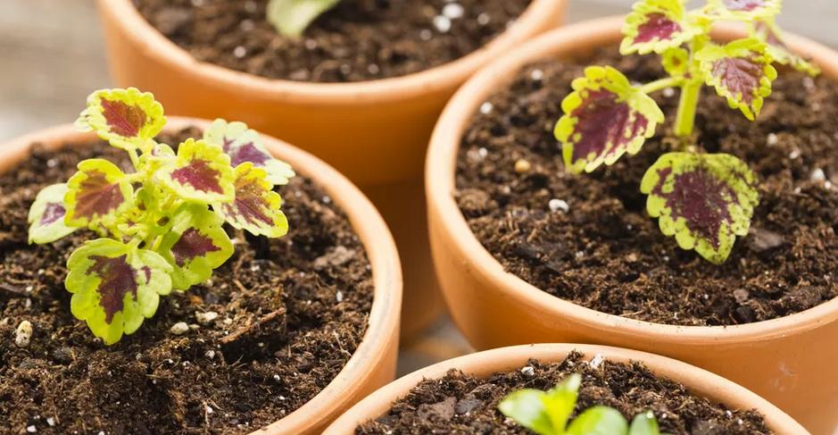 Cóleo - Aprende a propagar e a cuidar desta planta!
