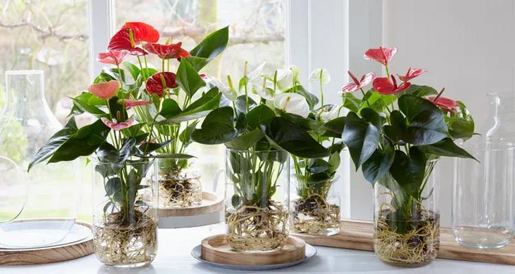 Como cultivar antúrios com as raízes em água - hidroponia