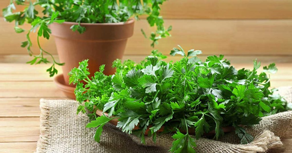 Como plantar coentros em canteiros ou vasos