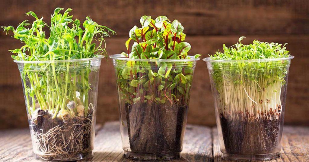 Aprende a preparar em casa germinados e microvegetais