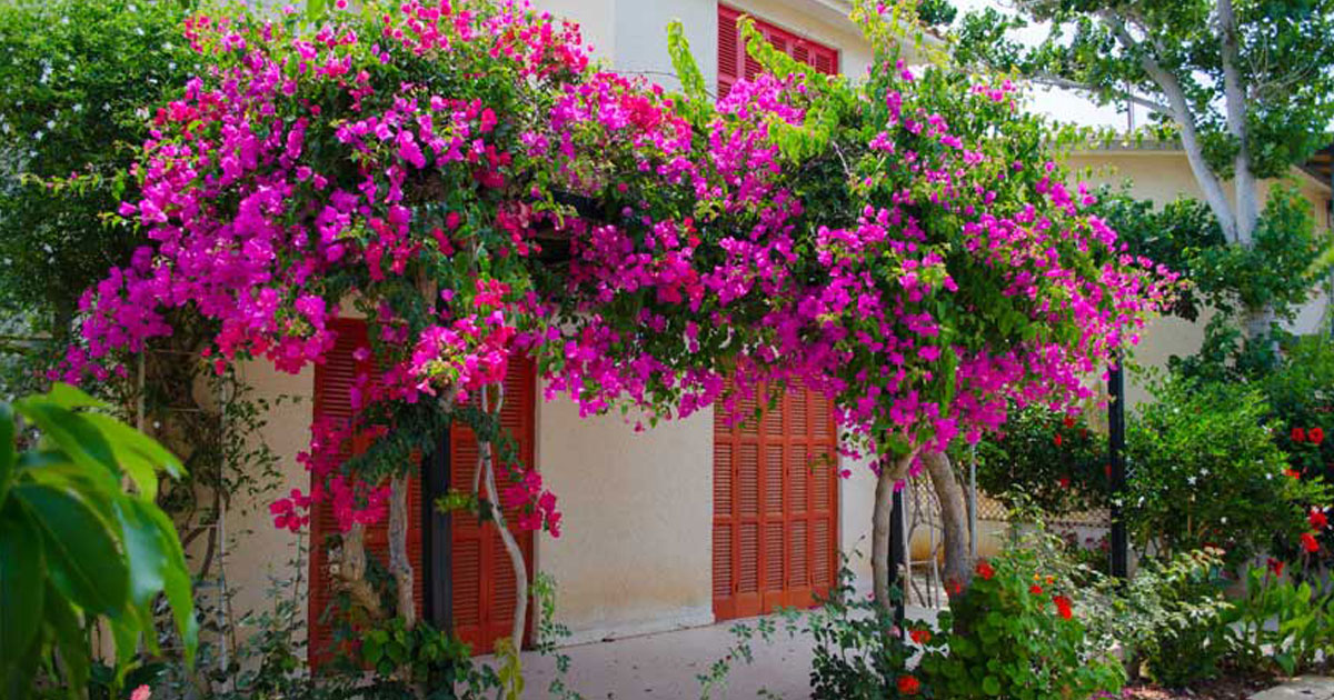Sabiam que as flores de buganvílias tratam vários problemas de saúde?