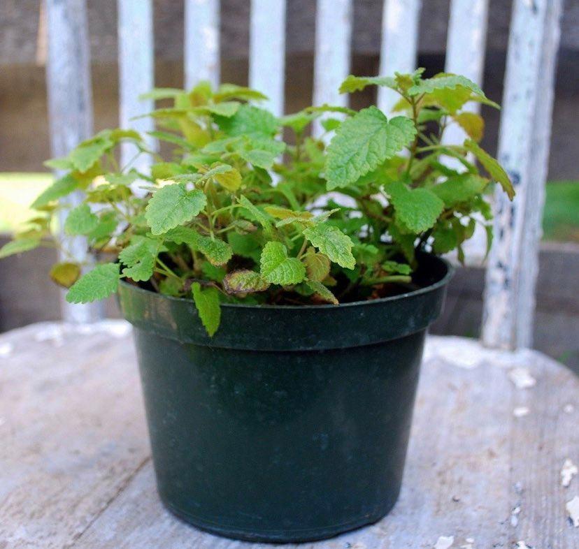 Como plantar erva cidreira em canteiros ou vasos