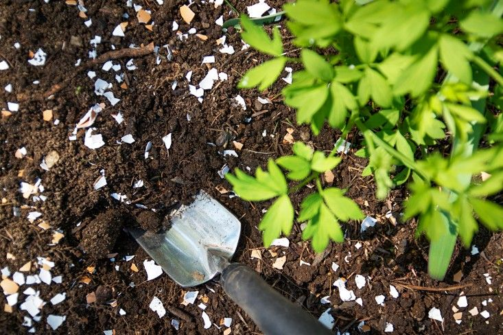 Cuidem das vossas plantas com fertilizante natural feito de cascas de ovos