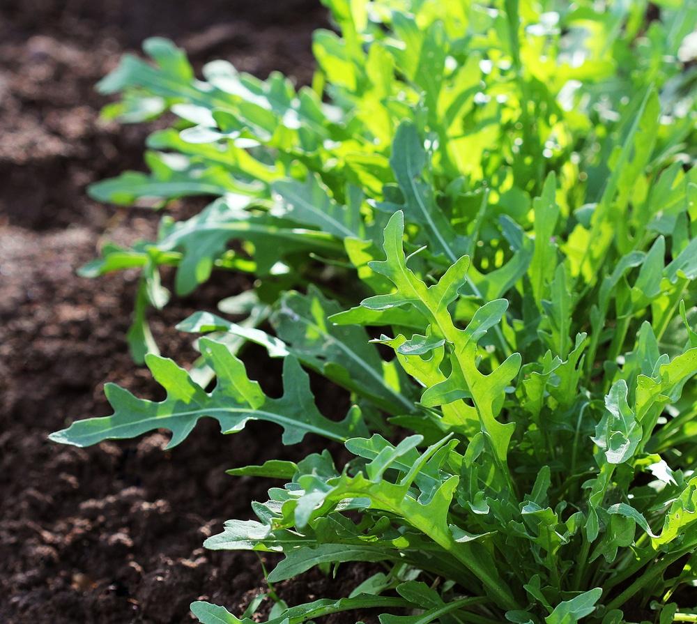 Como semear rúcula em canteiros ou vasos