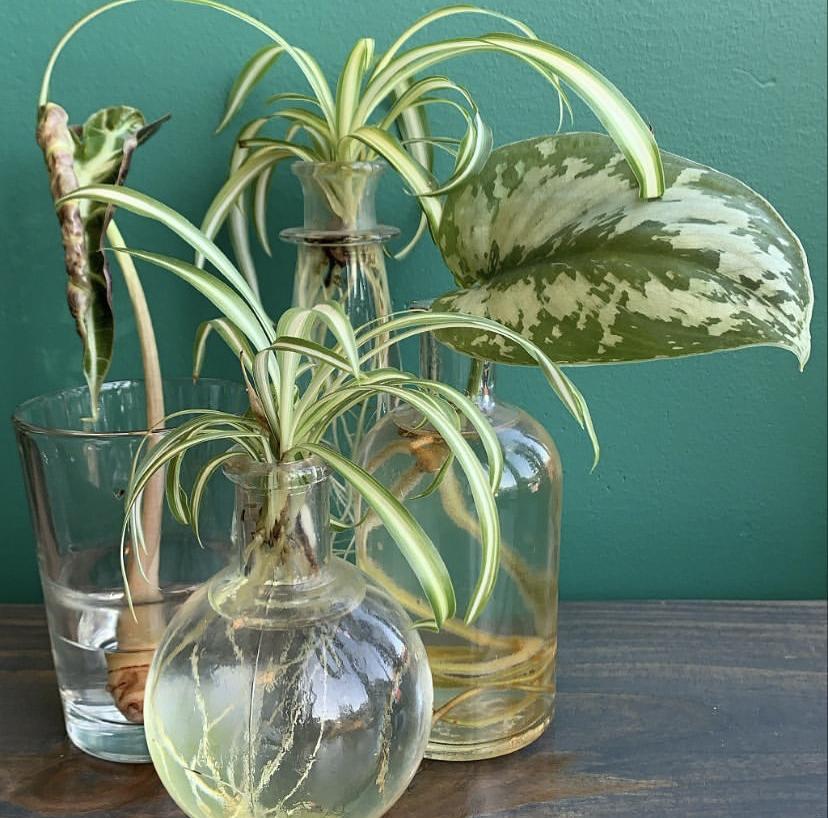 Planta-aranha - Aprendam a cuidar desta planta purificadora!