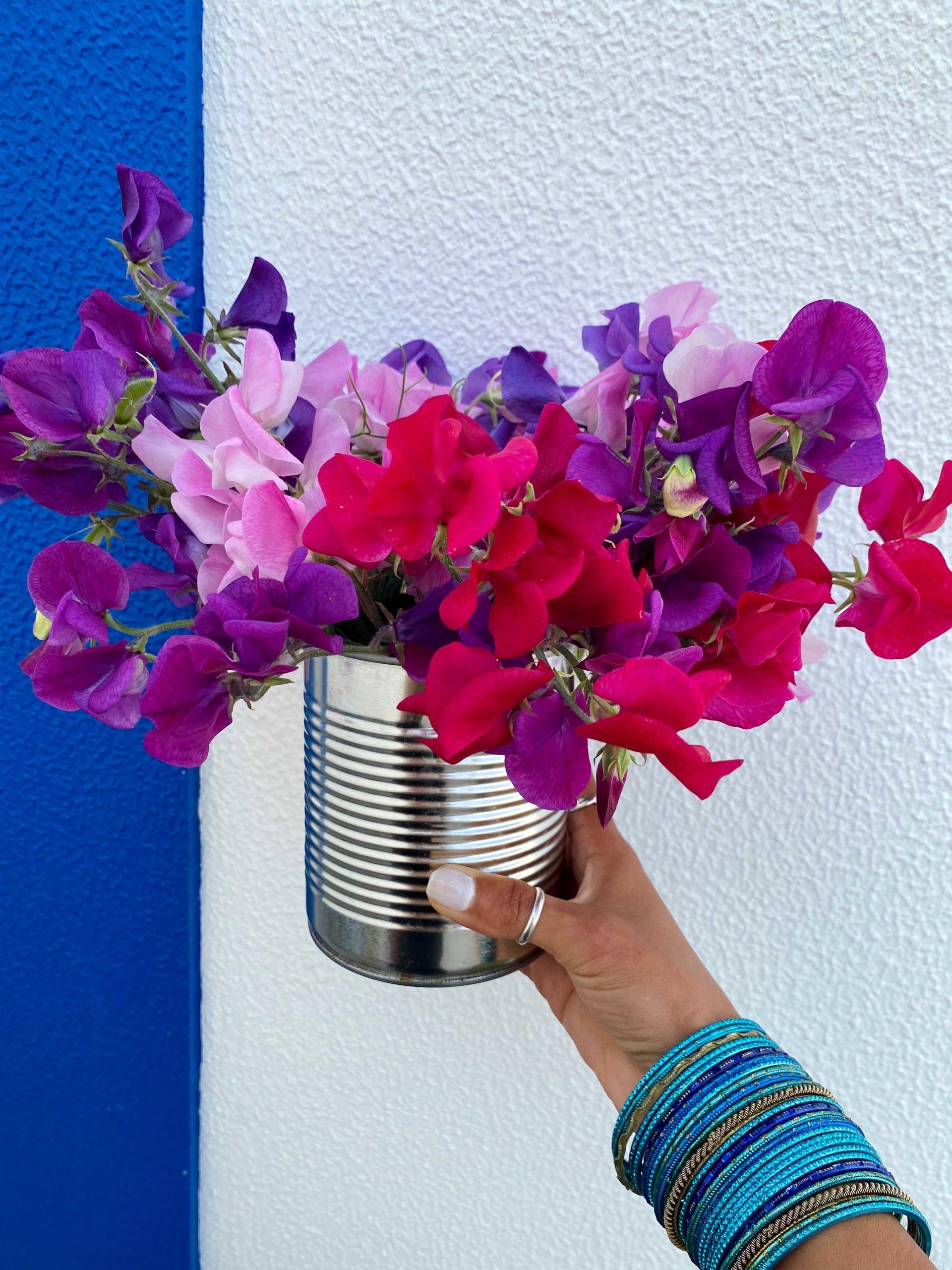 Ervilhas-de-cheiro - Aprenda a cuidar desta planta