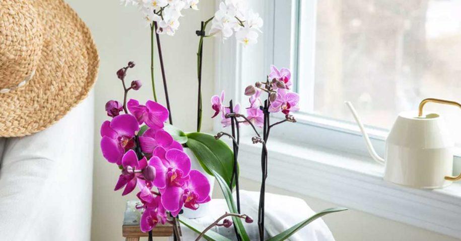 Guia para aprender a cuidar correctamente das suas orquídeas
