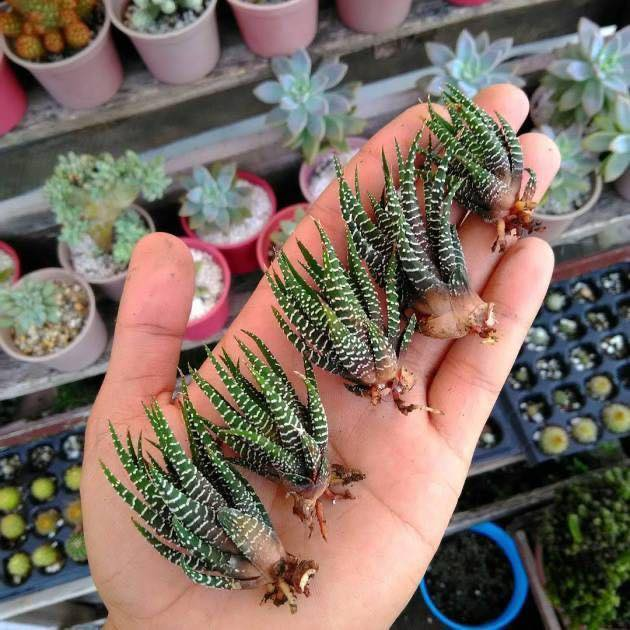 Planta zebra - Aprenda a cuidar desta suculenta ornamental