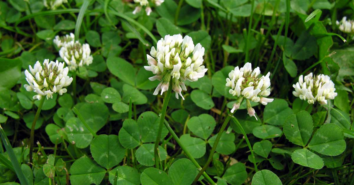 Trevo branco - Conheça os benefícios desta planta comestível