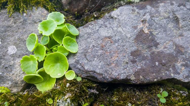 Umbigos de vénus - Mais uma planta que nos faz lembrar a nossa infância
