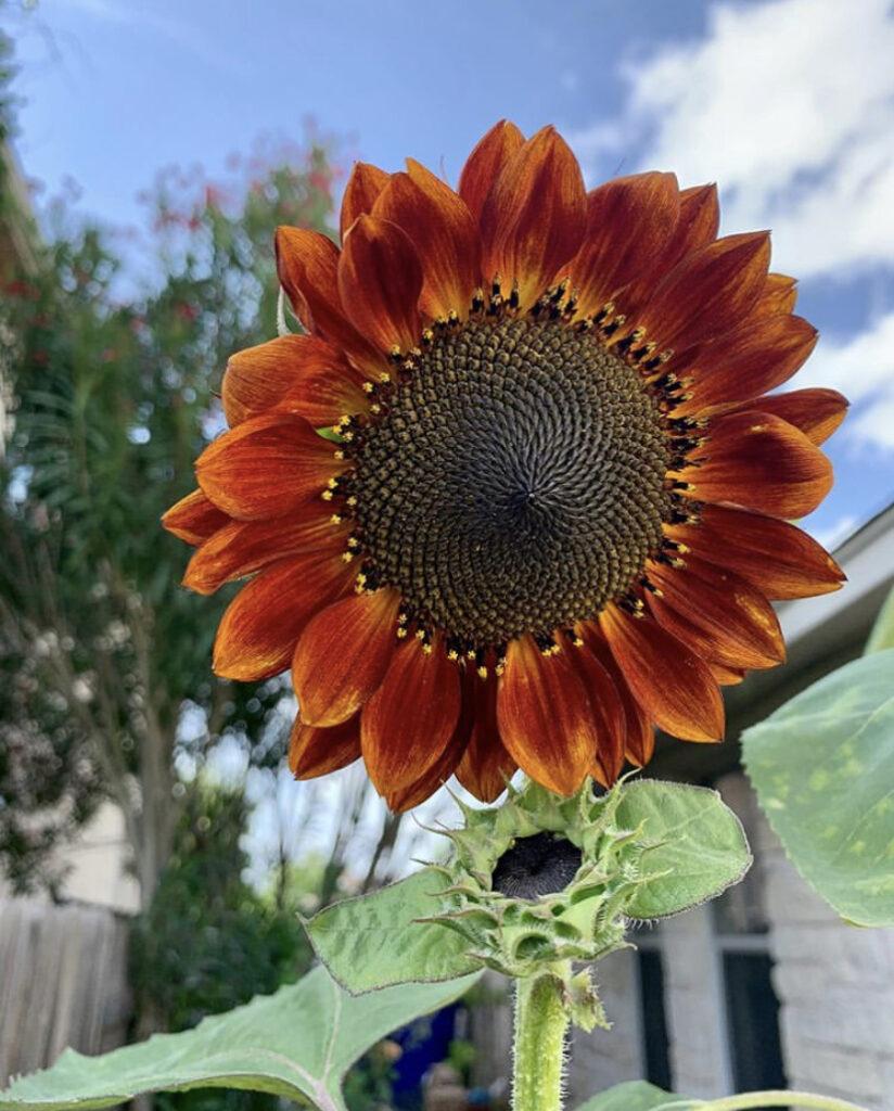 Aprenda a semear girassóis - uma planta tolerante ao sol